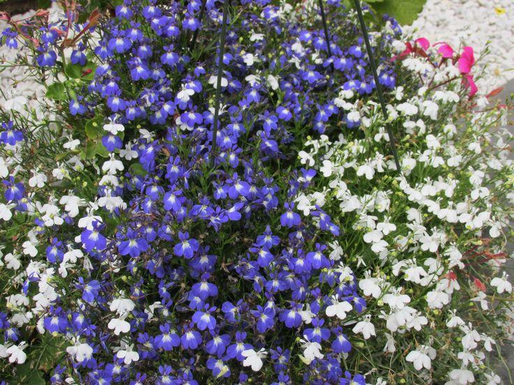 Flowers everywhere in stony plain
