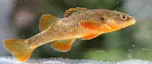 pez carmelita