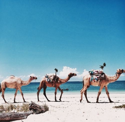 travel adventure tumblr camels beach tan grunge olilve clouds