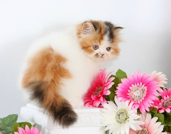 High White Calico Teacup Persian Kitten