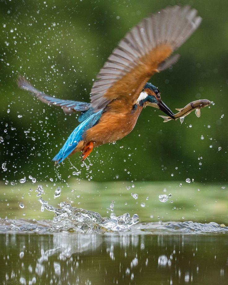 "1,336 Likes, 51 Comments - Ali Abdulraheem (@red14devils) on Instagram: ""Kingfisher ❤️ #marvelshots #photoarena_nature #nature_brilliance #splendid_animals…"""