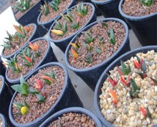 Cactus Lover: Growing cactus from seed