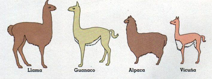 Camélidos altiplánicos | El guanaco es el ancestro silvestre de la llama; la vicuña el ancestro silvestre de la alpaca.