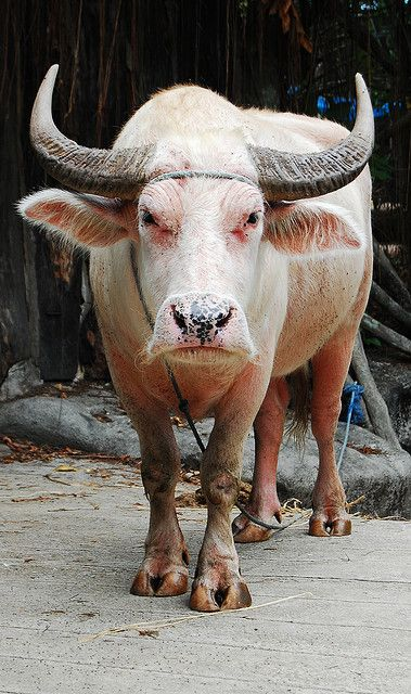 Albino Water Buffalo. I cant explain why the presence and energy of this creature reminds me of you...!!!