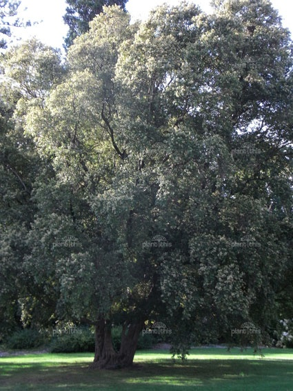 Backhousia myrtifolia (grey myrtle) - Native. Also known as the Cinnamon tree. Smells like bubblegum!
