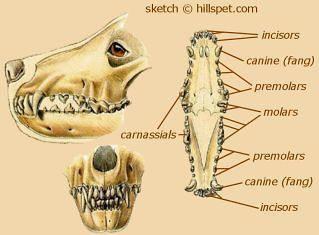 Arctic wolf anatomy