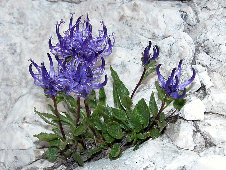 """raponzolo delle rocce"""" l raponzolo di roccia (nome scientifico Physoplexis comosa (L.) Schur, 1853) è una pianta erbacea perenne, ed è uno dei più caratteristici e rari fiori alpini che vegeta nelle zone di gran parte dell'arco alpino. Appartiene alla famiglia delle Campanulaceae- Cerca con Google"""