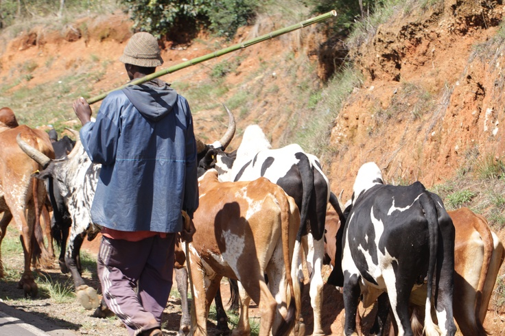 A man herds his Malagasy #Zebu #cattle down the road in #Madagascar. A symbol of wealth, the #Zebu is present throughout the country.  www.summerrayne.net.