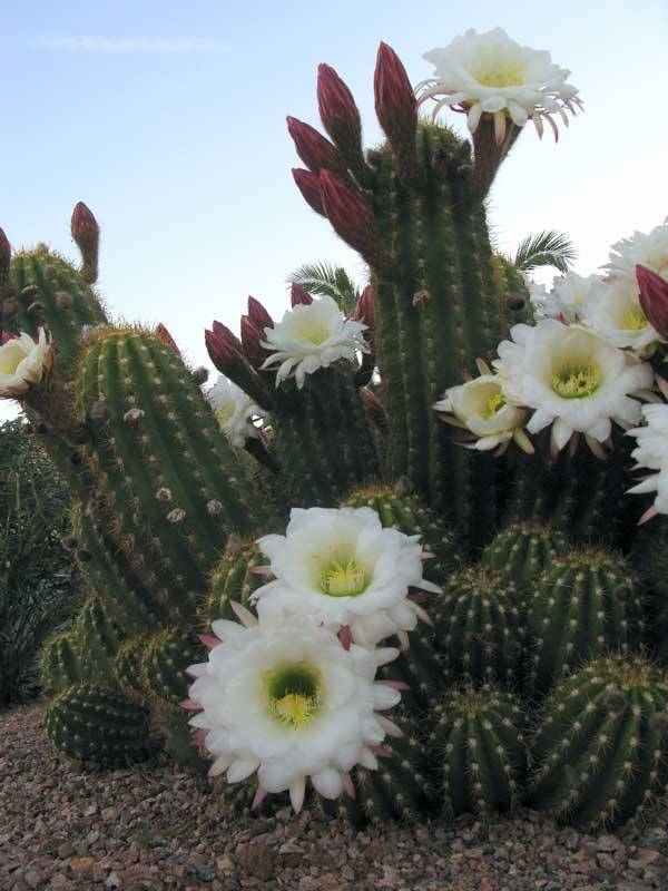 1000 images about cactus roses on pinterest cactus for Cactus argentina