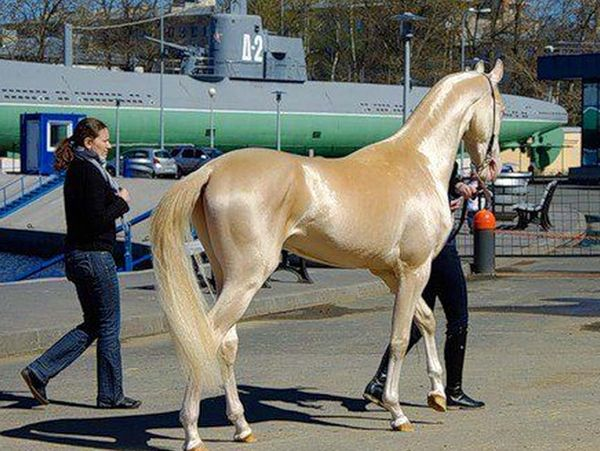 The Akhal-Teke is a horse breed from Turkmenistan. Only about 3,500 are left worldwide. Known for their speed and famous for the natural metallic shimmer of their coats. starrling