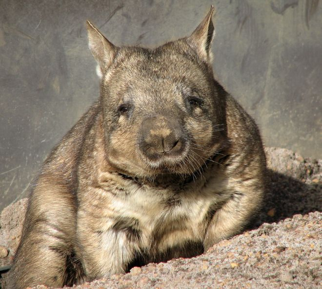There used to be giant wombats the size of rhinoceroses! Can somebody say awesome idea for a story? Who wants to ride a giant wombat into battle? I do!