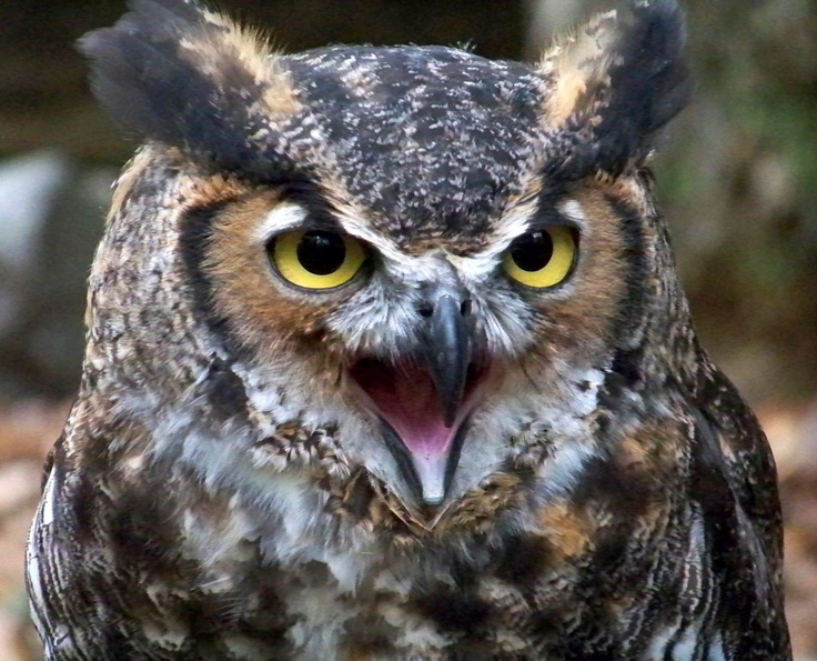 Great horned owl - Wikipedia