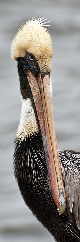 Brown Pelican, by Craig Royal. Prints available. #birds #pelican #photography