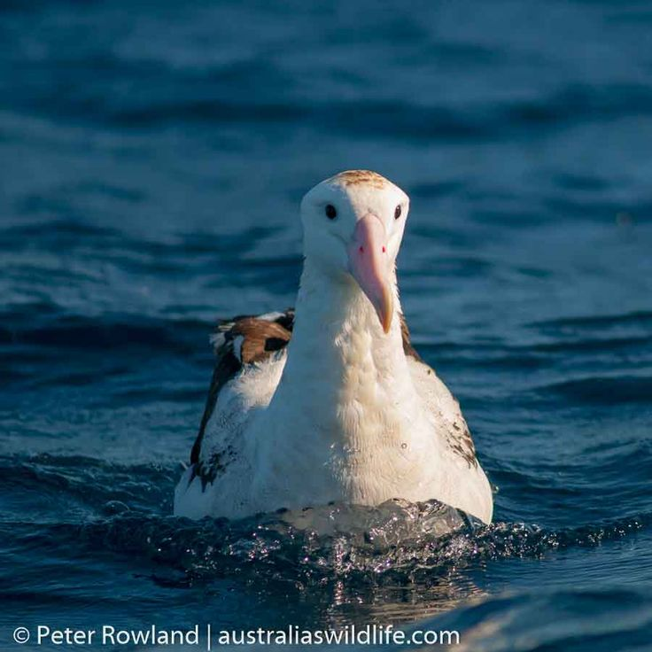 The #Wandering #Albatross, with the #largest wingspan of any #bird, is the #ruler of the open #oceans #aus_wildlife