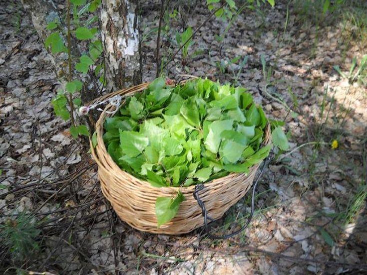 Майские березовые листья - эликсир жизненных сил и крепкого здоровья. Соберите листочки, будет вам помощь от болезней