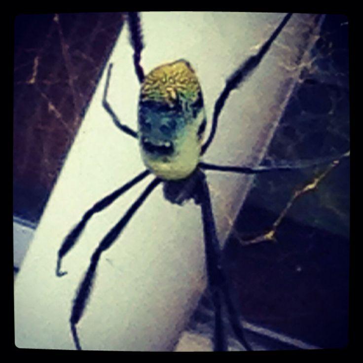 Golden Orb Garden Spider, Stilbaai