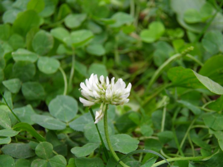 Find a lucky Clover flower?