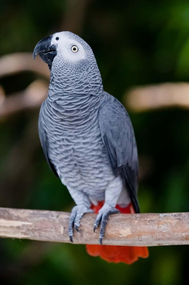 African Grey Parrot (Psittacus erithacus), one of the most famous parrots in the aviculture.