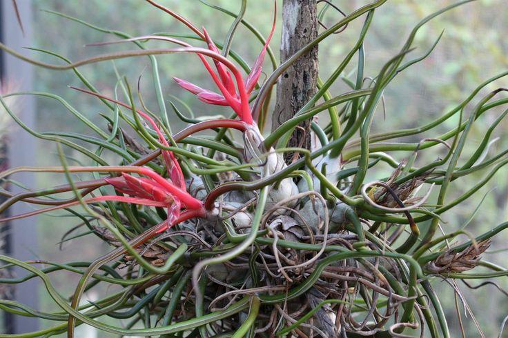 Tillandsia bulbosa in Bloom