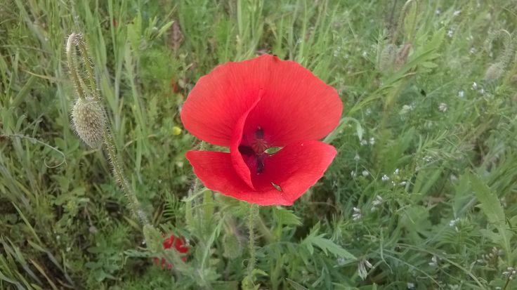 Poppy seed./Mak.