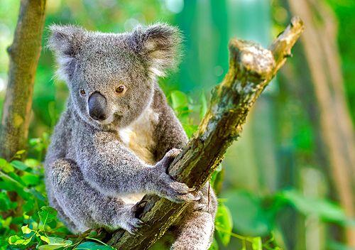 Wildlife Currumbin Sanctuary koala