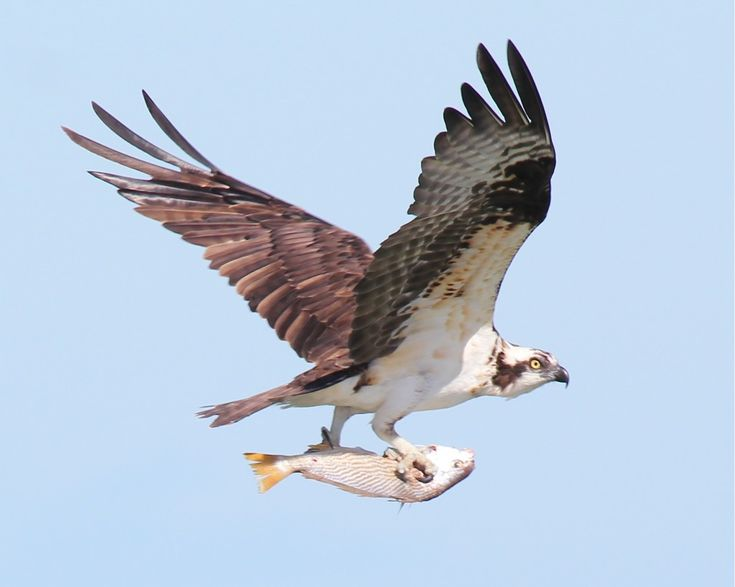 43 Best Images About Osprey On Pinterest Wings Bird