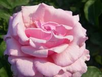 memorial day rose fragrance