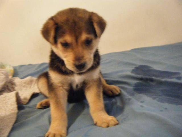 Husky And Labrador Mix Puppies