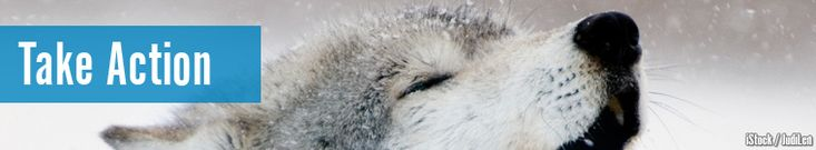 Take Action - Have we brought wolves back just to hunt them down?  Click and send protest.