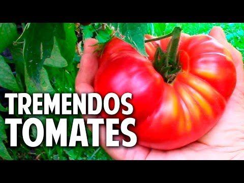 Como cuidar una planta de tomate recien germinada - Riego, Sol, Transplante @cosasdeljardin - YouTube