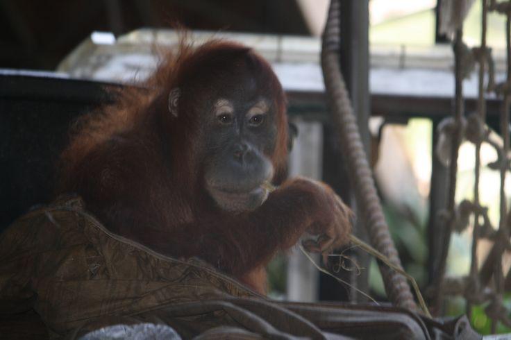 Monkey smoking grass at toronto zoo