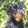 American Kennel Club - Rottweiler Photos