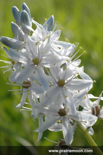 30 best oklahoma native plants images on pinterest native plants camassia scilloides wild hyacinth flower i love the idea of using lots of natives and wildflowers in my bouquets publicscrutiny Image collections