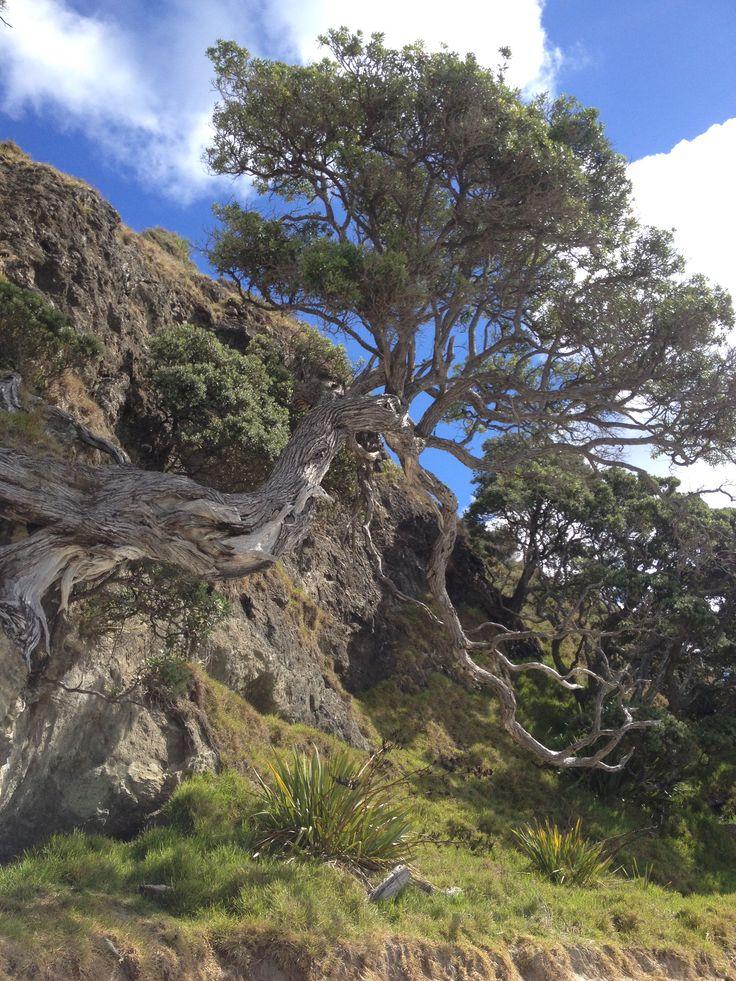 Pohutakawa tree, Tapotupotu Bay NZ
