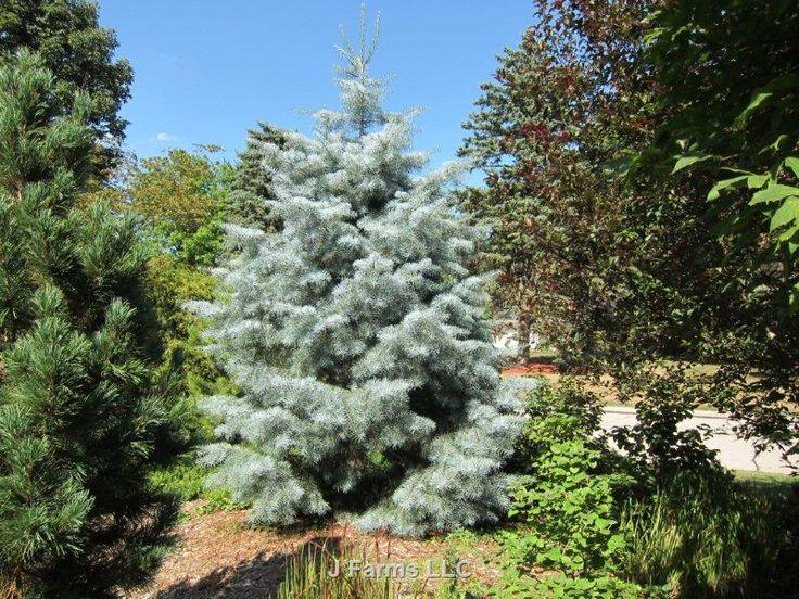 Abies Concolor Blue Cloak Whole Nursery Supplies Plant Growers In Oregon