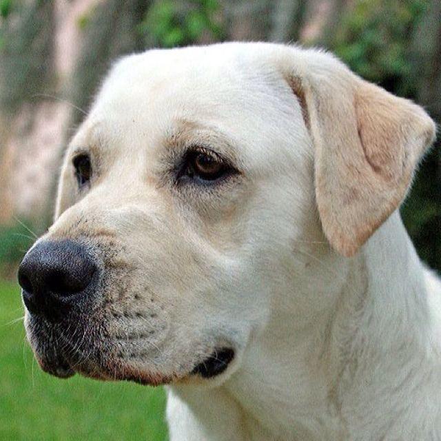 Yellow labrador retriever lab love pinterest awesome for Dog house for labrador retriever