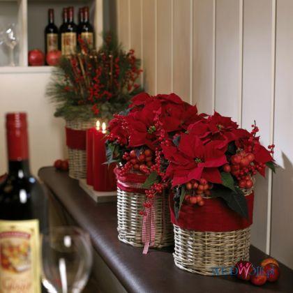 Poisencja dekoracja Boże Narodzenie