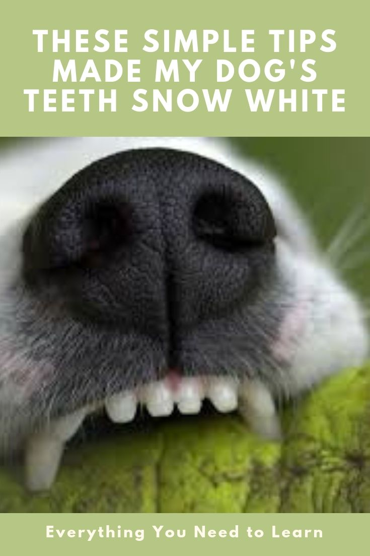 16 Smart Ways To Clean And Whiten Your Dog S Teeth Properly Dog