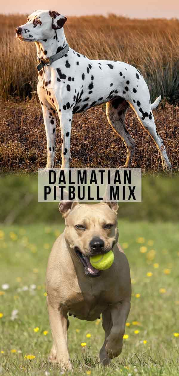 Dalmatian Pitbull Mix Is The Pitmatian The Right Dog For You