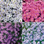 Dwarf Aster Collection Spring Hill Nursery