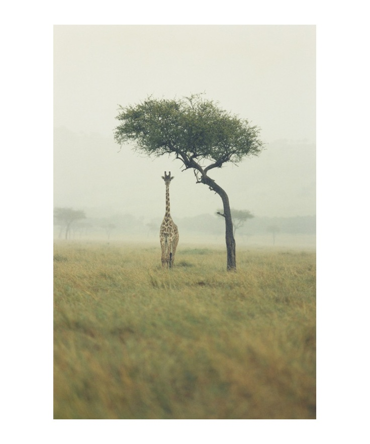 lone giraffe under tree