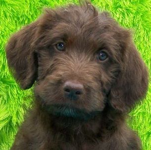 Labradoodle puppies - Oh I  need one.  I know my Labs will understand.