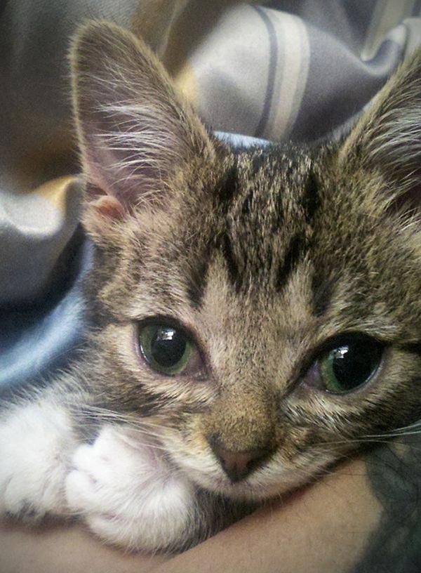Have You Ever Wondered What Lil Bub Sounds Like Kittens Cutest Tabby Kitten Tabby Cat