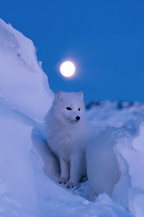 Arctic Fox - Before dawn, a brilliant full moon illuminates the snowy landscape of Churchill, Monitoba, Canada. The fox's coat changes color with the seasons; as the snow melts it begins to turn grayish brown.