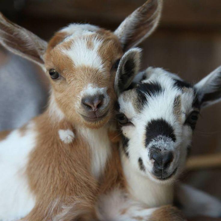 Cabin & Cottage - babygoatsandfriends:     Sunflower Farm