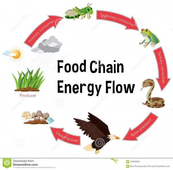 Nahrungskette Diagramm Diagram Food Chain Diagram Food Chain Food