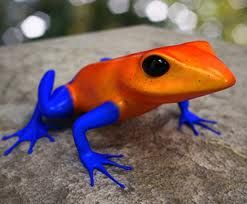 this frog is very colorful he must be some kind of poison dart frog but that is just a side note ,he is a magnificent frog!!!