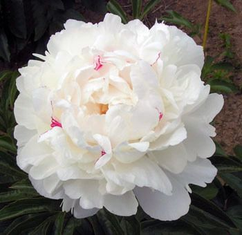 The Festival Maxima Peony is characterized with drizzles of crimson and/or pink in the center. While popular for weddings and other formal affairs, please note that availability of the Festiva Maxima peony may be limited during open season due to high demand for weddings.      20 Stems | April 15 - June 15$126.99             ( $6.35 per stem )  30 Stems | April 15 - June 15$179.99             ( $6.00 per stem )  60 Stems | April 15 - June 15$269.99             ( $4.50 per stem )…
