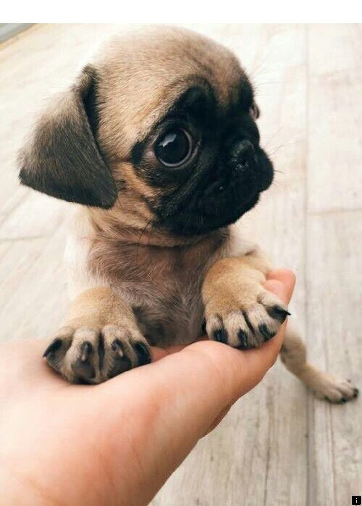 Find Out About Pug Puppies Near Me Follow The Link For More Info