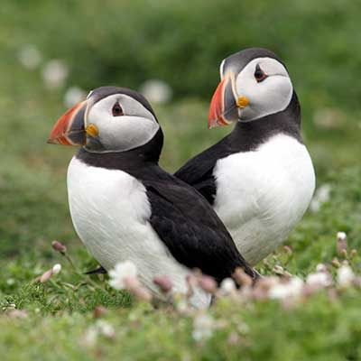 SKOMER & SKOKHOLM ISLANDS, PEMBROKESHIRE, Wales. Puffins. May & June for puffins and Seal pupping season from September through to the end of October.